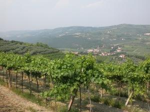 verona vineyard